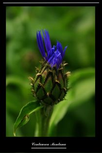 Centaurea Montana von Sven Born