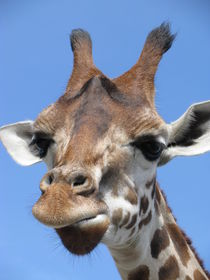 Giraffe by Manuela Krause