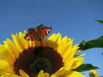 SUNFLOWER AND BUTTERFLY by Manuela Krause