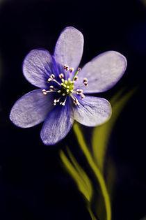 blaue blüte von Ingrid Clement-Grimmer