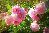 rosen im park 1 von Uschy Baumgarten
