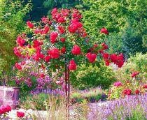 rosengarten von Uschy Baumgarten
