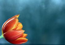 Tulpenblüte von claudia Otte