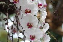 Orchidee Phalaenopsis von Timo Gugel