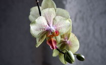 Orchidee Knospe von Timo Gugel