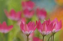 Wild tulips von lightspectral