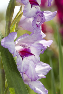 Gladiolenblüten by Christoph Hermann