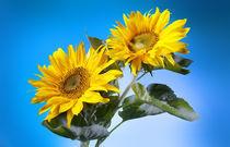 Sonnenblumen von Christoph Hermann