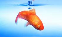 Goldfisch von Christoph Hermann