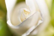 Weiße Rosenblüte von Christoph Hermann