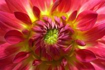 Nahaufnahme gelb-rote Dahlienblüte  von Christoph Hermann