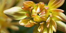 Gelbe Kaktusdahlienblüte von Christoph Hermann