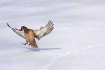 Landung von edler