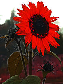 Sonnenblume by edler