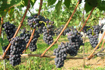 Weintrauben by edler