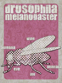 Drosophila melanogaster... by hannah