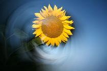Sonnenblume by Dirk Schamuhn