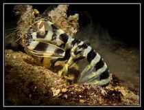Fangschreckenkrebs von divemonster