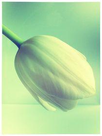 Tulip by Beatrice Amberg