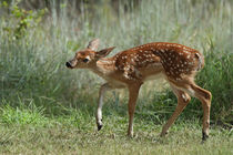 Lil' Prancer (Whitetail Fawn) by Howard Cheek
