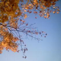 Ahornzweig im hellblauen Himmel by mondschwester