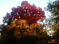 Ganz Roter und Orangener Herbstbaum  von mondschwester