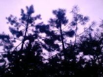 Violett und Siluettennadelbäume by mondschwester