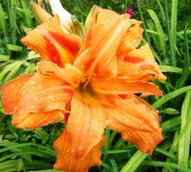 Sommerblüte von mondschwester
