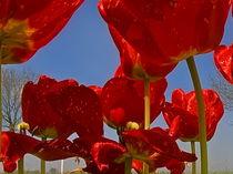Tulpen - View von Michael Hundrieser