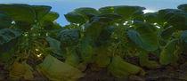 Rosenkohl - Panorama 3 by Michael Hundrieser