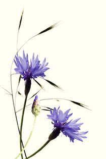 Kornblumen by Ingrid Clement-Grimmer