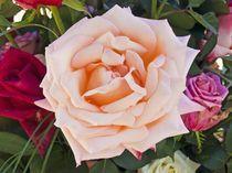 Rose von hajo