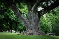 der alte Baum by mariok