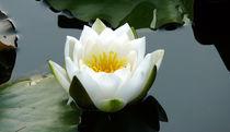 Lotus Blüte by Sikiru Adebiyi