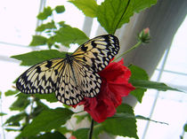 Schmetterling von tiaeitsch