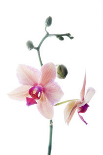 orchidee by mario hahn