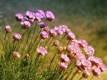 Grasnelken by fotokunst