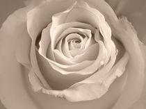 Lovely Rose by fotokunst