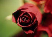 Rote Rose by Verena Leissler