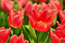 Rote Tulpen II by gnubier