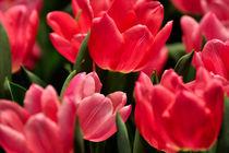 Rote Tulpen I von gnubier