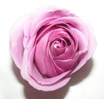 Rose nr.3 by svenja bary