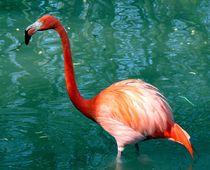 Flamingo von Peter M. Marxbauer