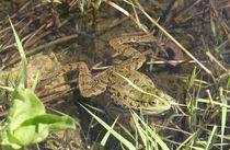 Frosch 2 von Peter M. Marxbauer