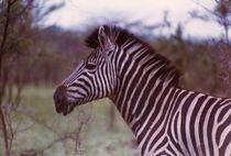 Zebra by Fritz Möllering