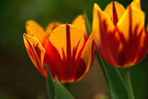 Tulpen by Peter Zehr