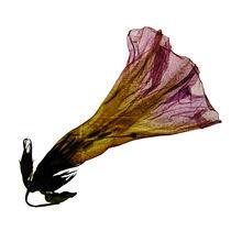 Blüte durchleuchtet 2 by Iris Kaschl