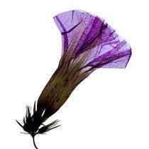Blüte durchleuchtet 3 by Iris Kaschl