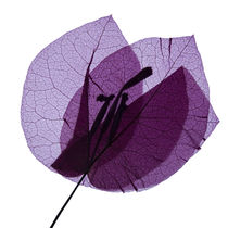 Blüte durchleuchtet von Iris Kaschl