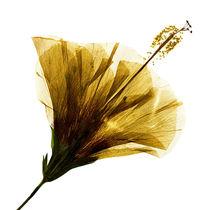 Blüte gelb durchleuchtet by Iris Kaschl